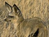 52_Bat-eared_Fox.jpg