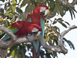 52_Red_and_Green_Macaw.jpg
