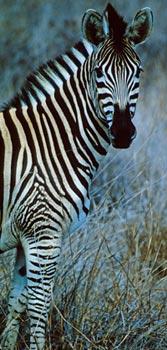 52_Zebra.jpg