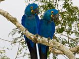 53_05_Hyacinth-Macaw.jpg