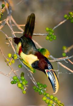 53_Aracari.jpg