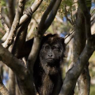 53_Howler-Monkey.jpg