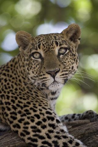 53_Leopard.jpg