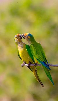 53_Peachfronted-Parakeet.jpg