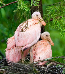 53_Roseate-Spoonbill-young.jpg