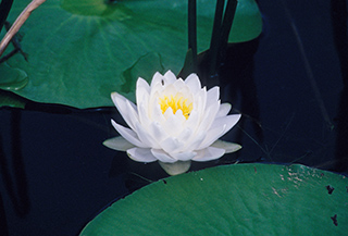 55_WaterLily.jpg