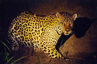 57_Jaguar.jpg