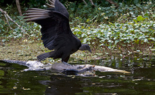 58_Vulture-Surfing.jpg