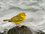 59_05YellowWarbler.jpg