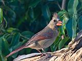 60_01-Juvenile-Red-Cardinal.jpg