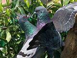 60_02-Rock-Doves.jpg
