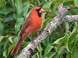 60_06-Male-Red-Cardinal.jpg
