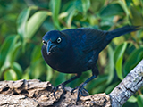 60_07-Common-Grackle.jpg