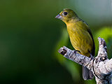 60_08-Female-Painted-Bunting.jpg