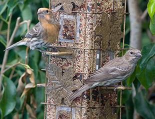 60_House-Sparrow.jpg