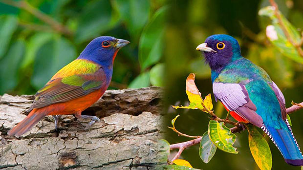 60_Painted-Bunting-&-Blue-crowned-Trogan.jpg