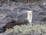 61_01-Waved Albatross.jpg