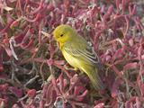 61_03-Yellow-Warbler.jpg