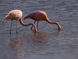 61_07-Greater-Flamingo.jpg
