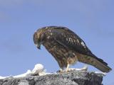 61_08-Galapagos-Hawk.jpg