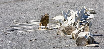 61_Galapagos-Hawk.jpg