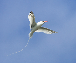 61_Tropicbird.jpg