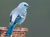 62_01-Blue-Grey-Tanager.jpg