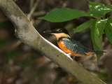 62_07-Green-&-Rufous-Kingfisher.jpg