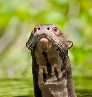 62_Giant-Otter.jpg