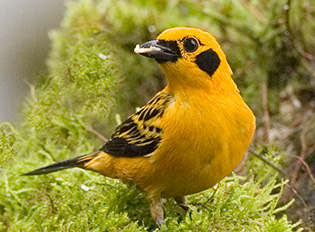 62_Golden-Tanager.jpg