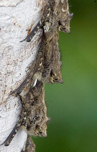 62_Long-nosed-bat.jpg