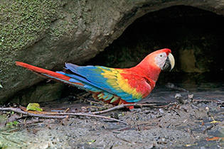62_Red-Macaw.jpg