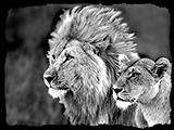 63_04-LionsBW.jpg