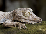 63_05_Leaf-tailed Gecko.jpg