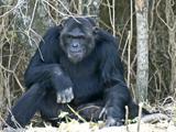 63_07 Chimpanzee.jpg