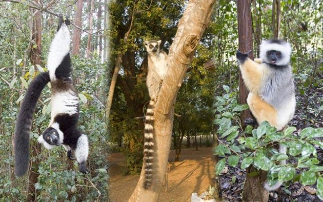63_Lemurs-in-trees.jpg