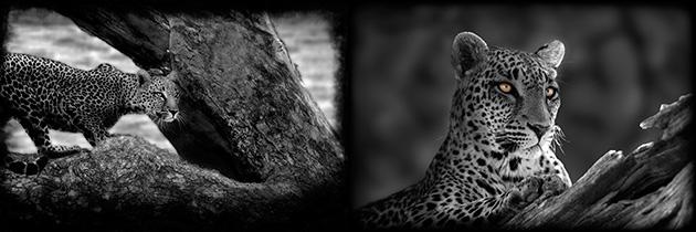 63_Leopards.jpg