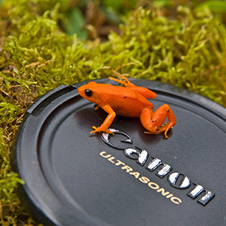 63_Red-Mantella.jpg