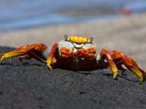 64_02-SallylightfootCrab.jpg