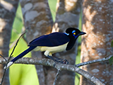 65_01_Plush-crested-Jay.jpg