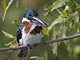 65_02_Green-Kingfisher.jpg