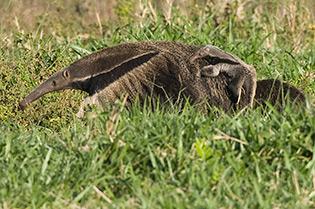 65_Greater-Anteater-&-baby.jpg