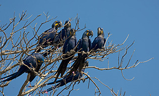 65_Hyacinth-Macaws.jpg