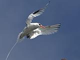 67_01_tropicbird.jpg