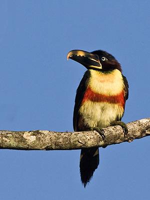 67_Chestnut-eared-Aracari.jpg