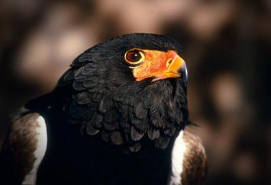 African-Eagle.jpg