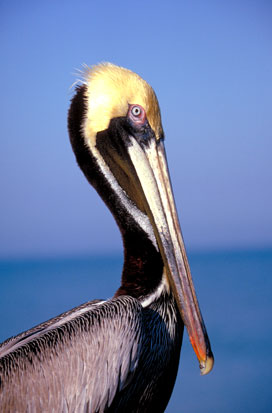 Breeding-Pelican.jpg