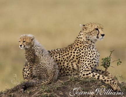 Cheetah-&-Cub.jpg