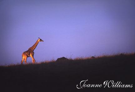 Giraffe-on-Hilll.jpg