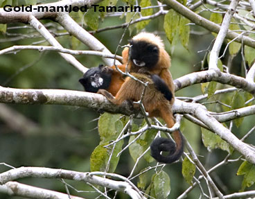Golden-mantled-Tamarin.jpg